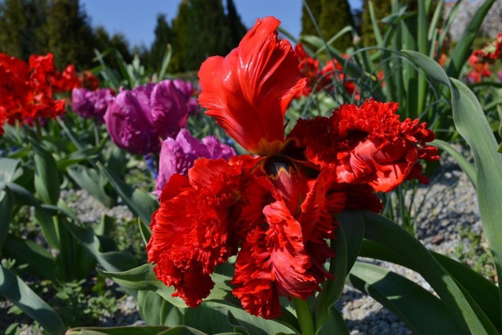 Tulpenblüte im Schlosspark Moritzburg Zeitz